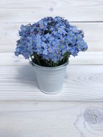 flowers forget-me in a bucket