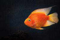 Yellow, orange goldfish koi fish in water
