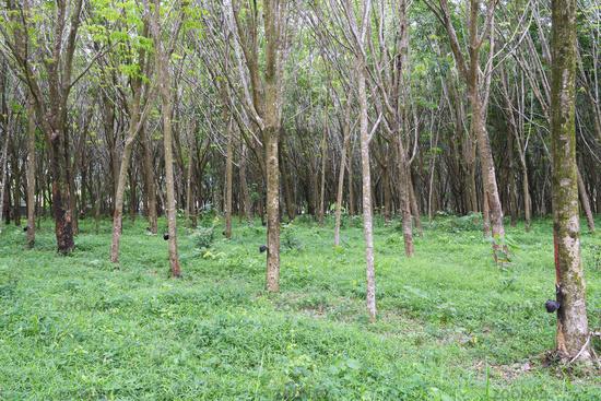 Kautschukbaum oder Para-Kautschukbaum (Hevea brasiliensis) in ei