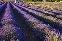 lavender field with rows from above
