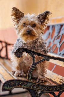 Yorkshire terrier on a park bench in a city