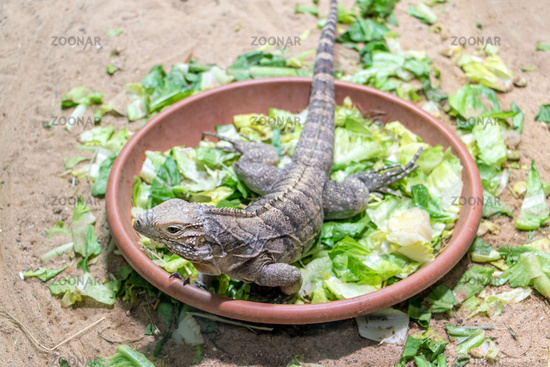 Cuban ground iguana - Cyclura nubila in a bowl of fresh leaves.