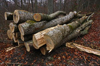 woodpile, pile of wood, ash trees,