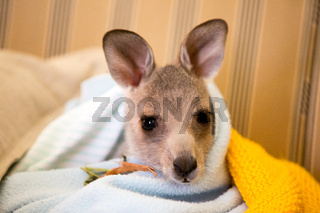Rescued Kangaroo in an Orphanage in Australia