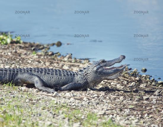 Young alligator sunning near  lake