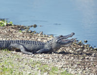 Young alligator sunning near  lake
