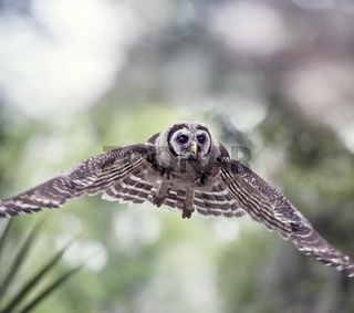 Young Barred Owl in Flight