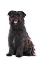 black Pyrenean Shepherd
