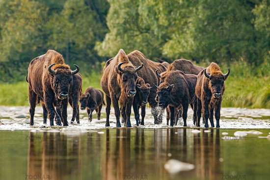 Herd of european bison, bison bonasus, crossing a river
