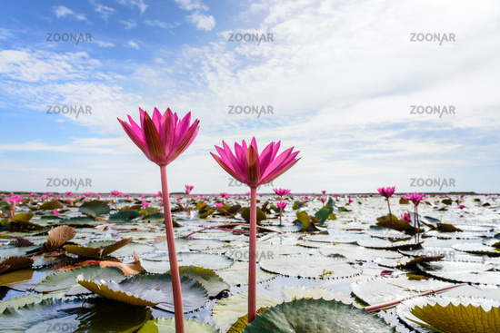 Two red lotus flowers in the pond, Thailand