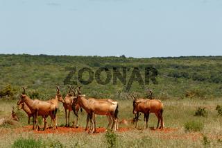 Herd of Red hartebeest standing together