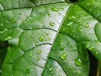 Leaves of Baby jackfruit