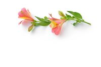 Alstroemeria lie on white background