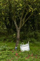 Red apples under an apple tree with bag