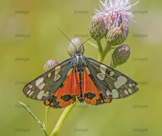 Scarlet tiger moth  'Callimorpha  dominula'