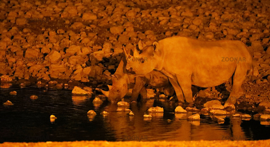 Black rhino at night, Etosha National Park, Namibia