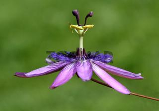 Passionsblume, Passiflora Violacea