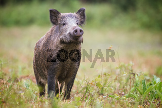 Curious wild boar, sus scrofa, sniffing for danger on hayfield in daylight.