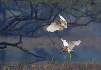 Pond heron fighting for food, Ardeola grayii, Bharatpur, Rajasthan, India