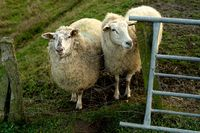 two dike sheep at the gate