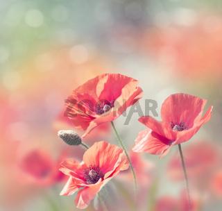 Poppy flowers bloom in the garden