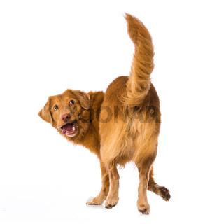 Dog turns around on white background