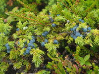 Juniperus communis, Juniper berries,