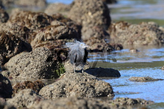 Pacific reef heron (Egretta sacra) Queensland, Australia