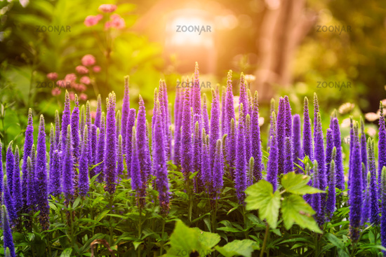 Beautiful purple flowers bloom in garden under sunlight
