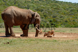 The Elephant and warthogs drinking water
