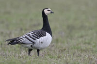 Barnacle Goose * Branta leucopsis *, full body, side view, wildlife, Europe