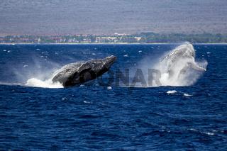 Zwei Wale springen