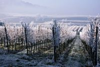 Vineyard in winter. Kaiserstuhl Germany