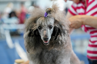 Closeup of silver poodle getting ready at dog's competition, looking at camera, owner fixing its hair