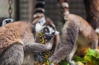 Lemur in park