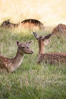 Herd of Fallow Deers lying on Meadow
