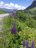 Lupines and arnica on the edge of a road