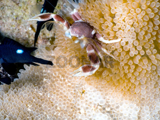 Porzellankrabbe  (Neopetrolisthes maculatus)