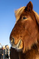 Close-up of brown Icelandic horse in the snow