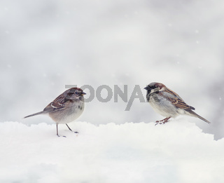 Two Sparrows  on snow in the winter