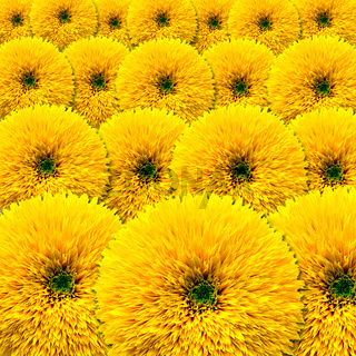 Background of blooming of decorative sunflower