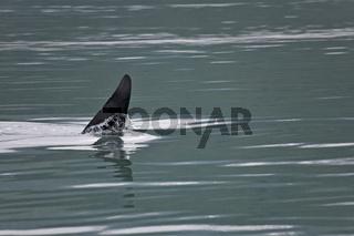 Schwertwal / Killerwal / Maennchen / Orcinus orca
