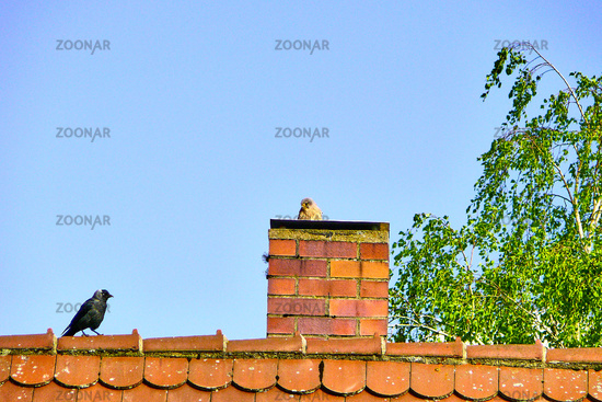 kestrel (f) with jackdaw on the roof of a house