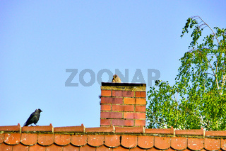 Turmfalke (f) mit Dohle auf dem Dach eines Hauses