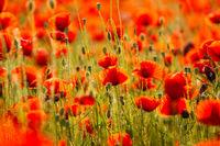 Poppies field meadow