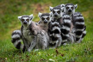 Family of Ring Tailed Lemurs