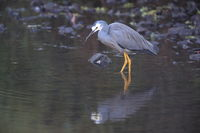 White-Faced Heron (Egretta novaehollandiae) Queensland, Australia