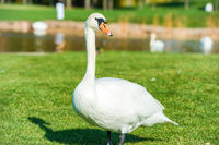 White swan on grass near lake