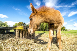 Foal eating hay at a farm in the summer