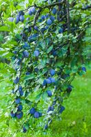 Tree full of blue plums in the summer outdoors